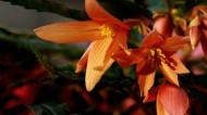 绚烂的垂吊海棠图片(8张)