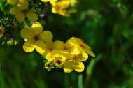 黄色刺玫图片 (10张)