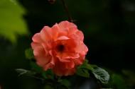 橙色蔷薇花图片(15张)
