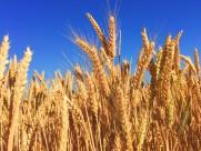 成熟的麦穗图片(18张)