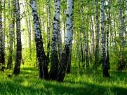 桦树林风景图片(15张)