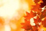 金黄色的枫叶图片(15张)