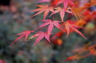 秋日的红叶图片(12张)