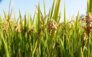 秋天稻谷丰收季节图片(6张)