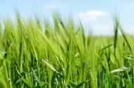 绿油油的麦田图片(10张)