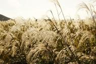 漂亮的芦苇丛图片(11张)