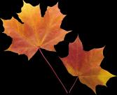 枫叶透明背景PNG图片(15张)