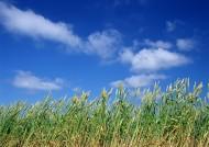 麦地丰收图片(26张)